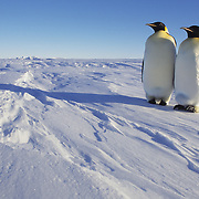 Emperor Penguin (Aptenodytes forsteri) pair of adults. Atka Bay, Antarctica