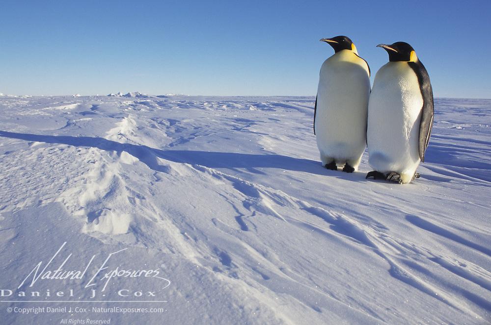 Emperor Penguin (Aptenodytes forsteri) pair of adults. Atka Bay, Antarctica
