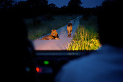 Tourist watch two adult male lions from a game drive vehicle in Manyeleti Conservancy while on safari.