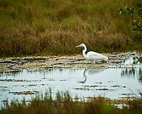 Great Egret. Biolab Road, Merritt Island National Wildlife Refuge. Image taken with a Nikon D3s camera and  70-200 mm f/2.8G VRII lens and TC-E 2.0 III teleconverter (ISO 450, 400 mm, f/5.6, 1/400 sec).