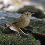 The buff-breasted babbler (Pellorneum tickelli) is a species of bird in the Pellorneidae family.