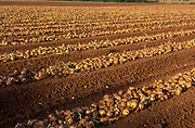 ATBJCC Onions harvested and left to dry Suffolk England