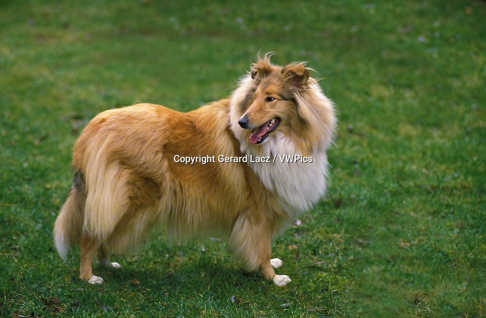 Collie Dog, Adult standing on Grass