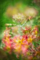 "Colorful meadow full of ""Fairy Primrose""."