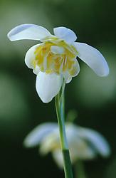 Galanthus nivalis 'Lady Elphinstone' - snowdrop