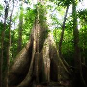 Samauma arbre autant vénéré que craint dans la mythologie des peuples indigènes. L'arbre abrite une immense biodiversité aussi végétales qu'animal. C'est aussi le lieux de vie des esprits de la forêt.    Samauma arvore sagrado dos polos indigenas. Esse grande arbore e uma casa pro varios seres que seja plantas, bichos, o spirites