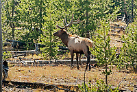 A Bull Elk walks through the pine trees in Wyoming on a September afternoon.