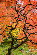A Japanese maple turns orange in autumn. The Seattle Japanese Garden was completed in 1960 within UW's Washington Park Arboretum. Address: 1075 Lake Washington Blvd E, Seattle, Washington 98112, USA.
