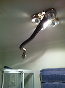That's one way to cut down on showers! Horrifying moment a SNAKE bursts out of a bathroom light fitting<br /> <br /> Imagine heading into the bathroom and switching on the light only to see a huge snake hanging from the ceiling. <br /> It's the stuff made of many people's nightmares, but it was a reality for one Queensland homeowner.<br /> A company called Snake Catchers from Brisbane which shows the snake, believed to be a python, entering the bathroom through the light fixture.<br /> <br /> 'In case you were thinking of leaving that cover off the bathroom light for a little longer... think again!!! You may end up with an unwanted visitor,' the post read. <br /> Hundreds of people reacted and shared their fears on the page.<br /> 'You'd wanna hope there's a toilet in that bathroom after walking in to see that - it'd be needed LOL,' Nikki Day said. <br /> <br /> We are attaching all our covers,' Mark Lord followed up with. <br /> 'Omg. That's not even funny. Our heat light is like that,' another user, Shara Feneck, posted. <br /> The Snake Catchers Facebook page is inundated with photos of snakes they've captured from houses in Brisbane and the surrounding areas.<br /> This most recent find comes a month after a large four metre snake was found atop a bed in a home in Morayfield, north of Brisbane <br /> The 'non-dangerous' carpet python was discovered slipping around underneath the bed sheets before it was reported to snake handler Julie Baker. <br /> Ms Baker removed the large non-venomous snake from the Morayfield home using a large hook and a canvas bag, before releasing it back on the resident's acreage.<br /> ©SnakeCatchers/Exclusivepix