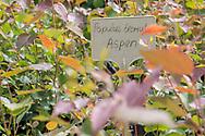 Aspen seedlings growing at Trees For Life's nursery on Dundreggan Estate, Scotland.
