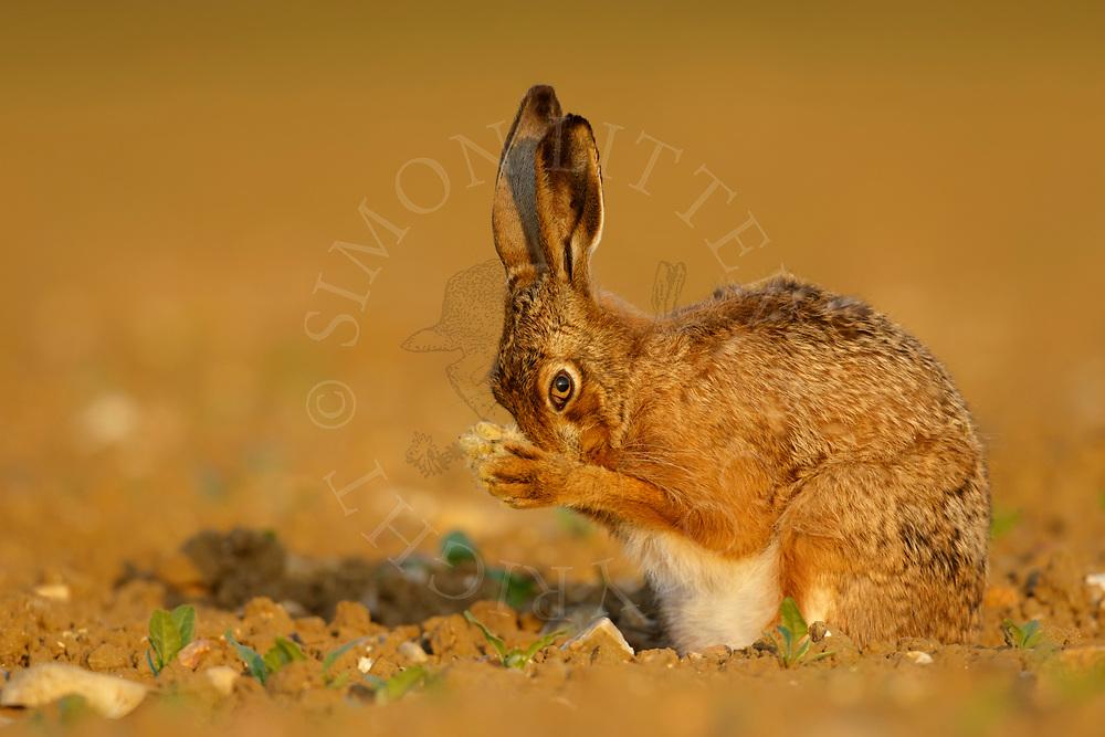European Hare (Lepus europaeus) adult cleaning itself in emerging sugar beet crop, South Norfolk, UK. May.