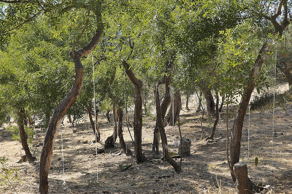 Castelbuono,  frassineto dell'azienda Gelardi...Castelbuono: wood ash in Gelardi's farm.