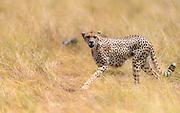 Cheetah (Acijonyx jubatus) from Maasai Mara, Kenya.