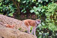 Singapour, Singapore Zoological Gardens, Mandai Zoo, singe Langur // Singapore, Singapore Zoological Gardens, Mandai Zoo, langur monkey