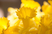 Close up of bloom of Daffodil spring flower, Narcissus, with frilly petals