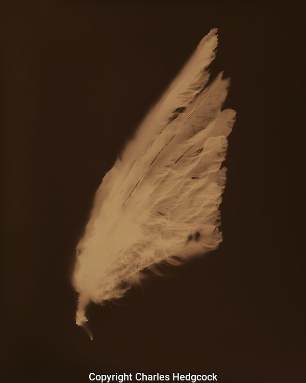 "Lumen print of a dove wing from Sonora, Mexico. Available to license and as limited edition archival 20""x24"" prints."