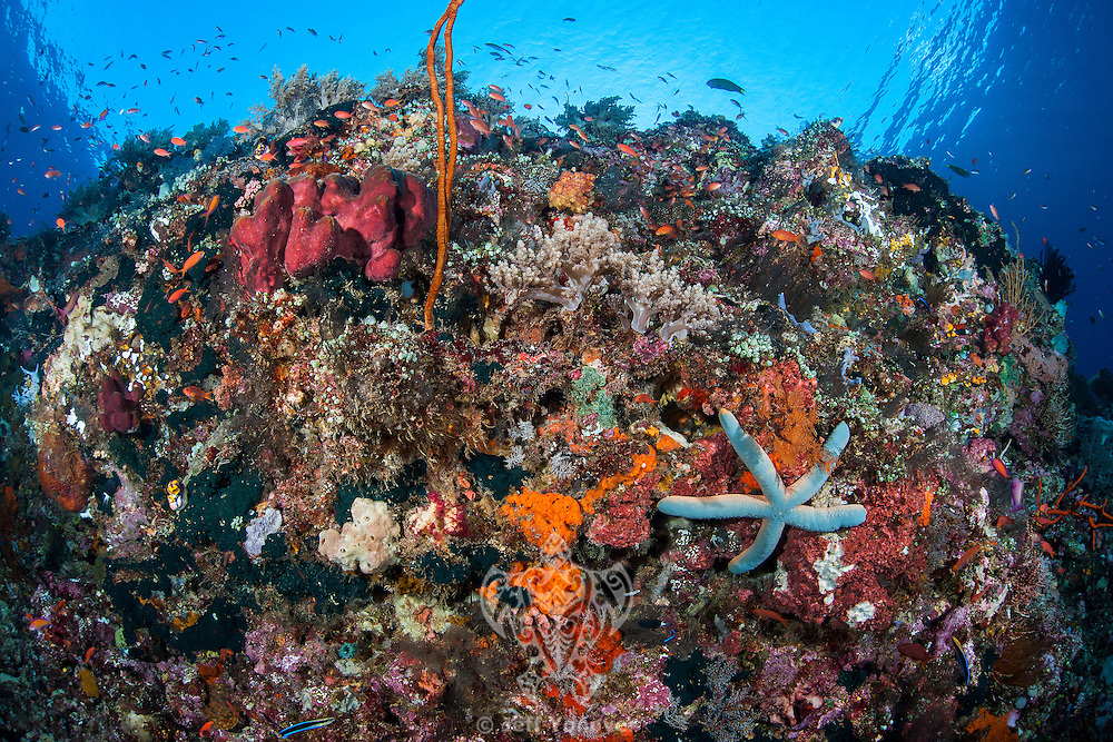 Colorful Coral Reef Wall with Sea Star<br /> <br /> Shot in Indonesia