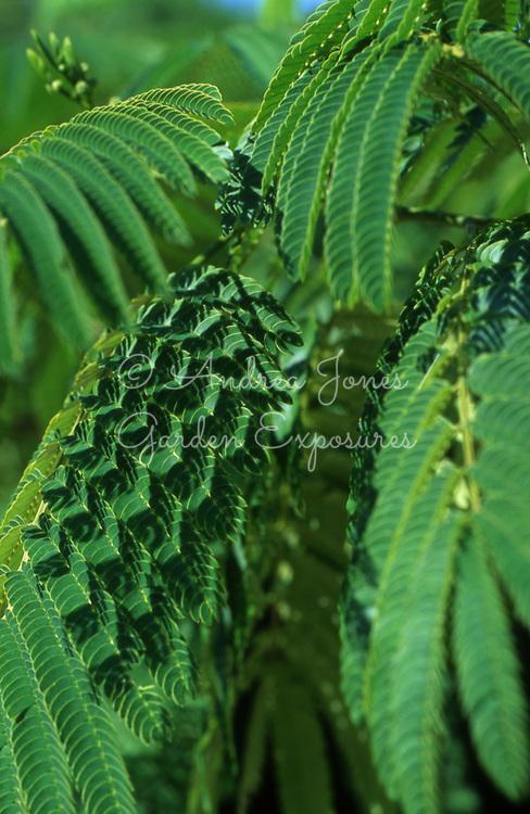 Acacia foliage