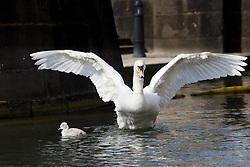 © Licensed to London News Pictures. 10/04/2016. London, UK. A swan cygnet swims with its mother in an urban canal in Wapping, east London during sunny spring weather this morning. The swan cygnet is one of the first to hatch in London this year.  Photo credit : Vickie Flores/LNP