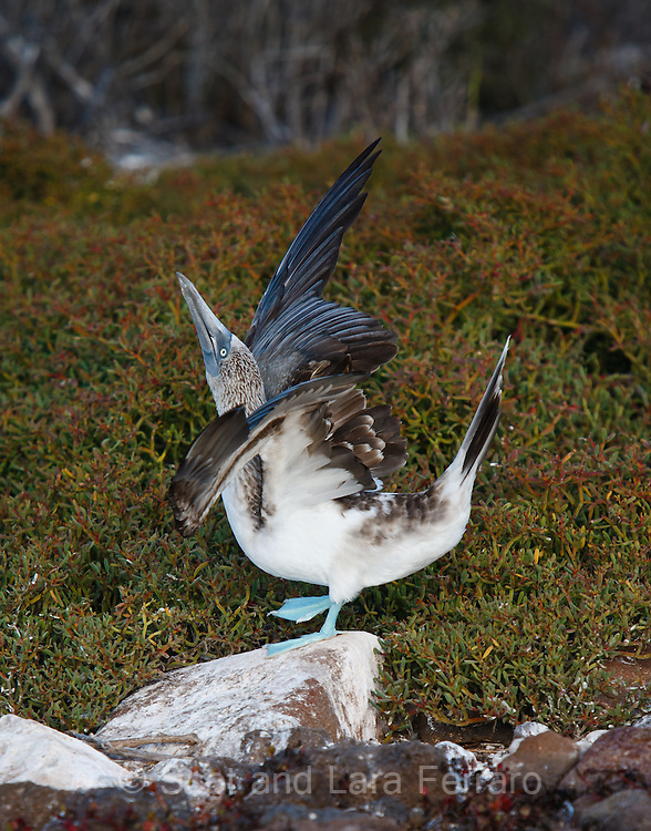 A Blue-Footed Booby showing off his mating dance.