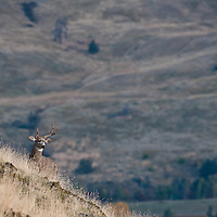 a typical mule deer buck on grassy hillside