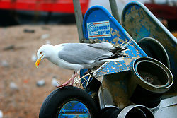 UK ENGLAND HASTINGS 6JUL06 - Detail view of a silver seagull aboard the St. Richard (RX60) of Hastings. Hastings Stade is home to Britain's biggest fleet of beach-launched fishing boats with a history dating back more than a thousand years. The boats have to be hauled out of the sea after each trip, which stops them being more than about ten metres long. This means that they can only carry small amounts of gear and travel just a few miles. As a result the fleet has always fished in an ecologically sound way.  ..jre/Photo by Jiri Rezac / WWF UK..© Jiri Rezac 2006..Contact: +44 (0) 7050 110 417.Mobile:  +44 (0) 7801 337 683.Office:  +44 (0) 20 8968 9635..Email:   jiri@jirirezac.com.Web:    www.jirirezac.com..© All images Jiri Rezac 2006 - All rights reserved.