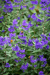 Caryopteris × clandonensis 'First Choice'. Bluebeard