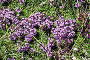 Wild thyme or creeping thyme (Thymus genus in the mint family, Lamiaceae) wildflowers bloom purple on Lisengrat ridge, in the limestone Alpstein massif, Appenzell Alps, Switzerland, Europe.