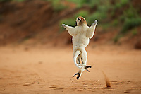Verreaux's sifaka lemur (Propithecus verreauxi) leaping across an open area, Southern Madagascar