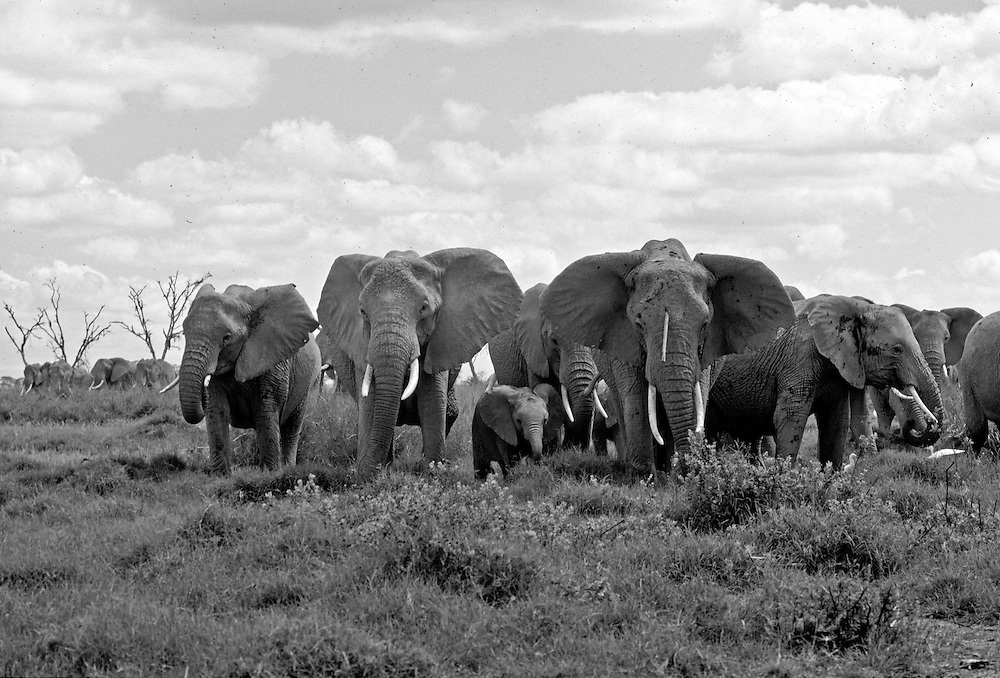 Elephants,  Amboseli National Park, Kenya