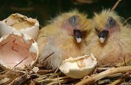 Deutschland, DEU, Ortenburg, 2002: zwei gerade geschluepfte junge Tauben (Columba liva), die Eierschalen liegen noch neben ihnen. Tauben bekommen immer nur zwei Junge. | Germany, DEU, Ortenburg, 2002: Two young pigeon (Columba liva), short time after hatching, sitting side by side in their nest, broken eggshells beside. Pigeons always get two youngs. |