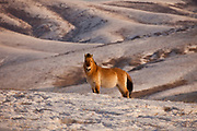 Takhi in winter coat, Przewalski horses, Equus przewalski,  reintroduced from Europe, winter snow in Hustai National Park, Mongolia.