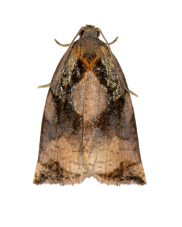 Large Fruit-tree Tortrix - Archips pagana