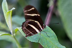 Side view of a Zebra Longwing (Heliconius charitonius) butterfly on a green leaf