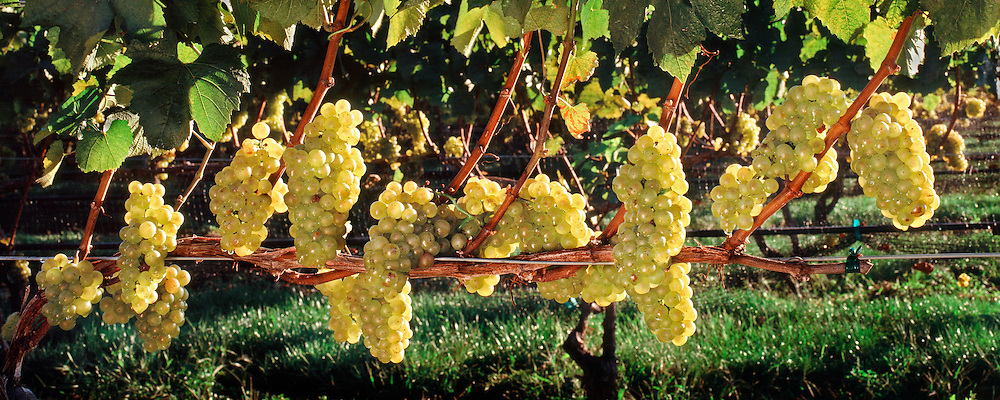 Grapes,Duck Walk Vineyards, 16x40,  inches, archival gicleé canvas edition of 12, $900
