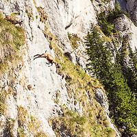 Gemsen springen 7 Meter eine Felswand hinab, Nationalpark Piatra Craiului (Königstein), Zarnesti, Kreis Kronstadt (Brasov), Transylvanien/Siebenbürgen, Rumänien