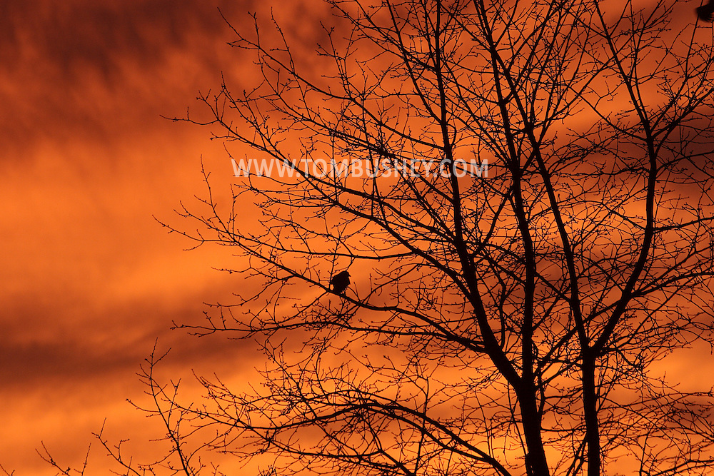 Middletown, NY - A crow sits in a tree at sunset before flying off to its roosting site on Dec. 28, 2008.