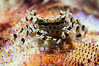 Zebra Crab perched on Fire Urchin<br /> <br /> Shot in Indonesia