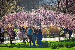 © Licensed to London News Pictures. 15/03/2017. London, UK. Three young women pose for a selfie next to a weeping cherry blossom tree, in warm sunshine at Lunch time in St James's Park , central London on a bright spring day. Photo credit: Ben Cawthra/LNP