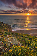 Wildflowers on coastal cliffs at sunset, San Gregorio State Beach, San Mateo County coast, California