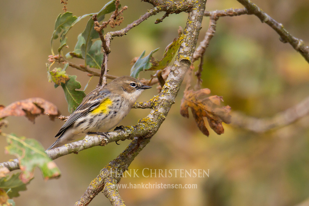 A yellow-rumped warbler sits on a branch whose leaves are beginning to turn