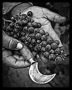 vineyard worker's hands holding grapes and grape hook (serpette) at harvest, Napa Valley, California
