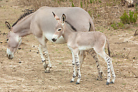 somali wild ass baby and mother in nature