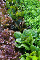 Rows of salad leaves in the kitchen garden at West Dean. Lettuce 'Red Velvet', Radichio 'Rosa di Treviso' and endive