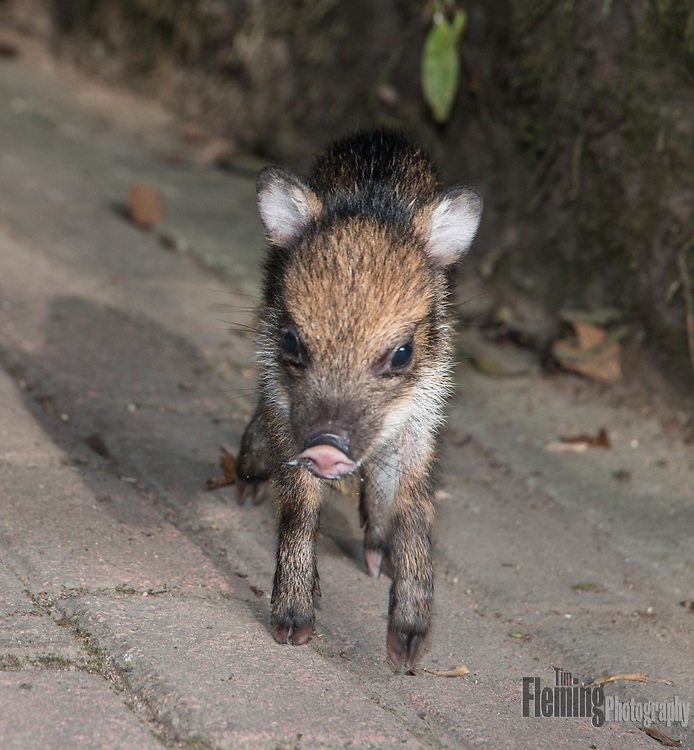 Pecari tajacu, a subtropical species of wild pig.