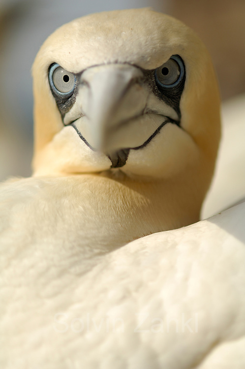 Northern gannet (Sula bassana or Morus bassanus), booby, Bass Rock Scotland | Basstölpel (Sula bassana or Morus bassanus), Tölpel, Schottland Großbritannien