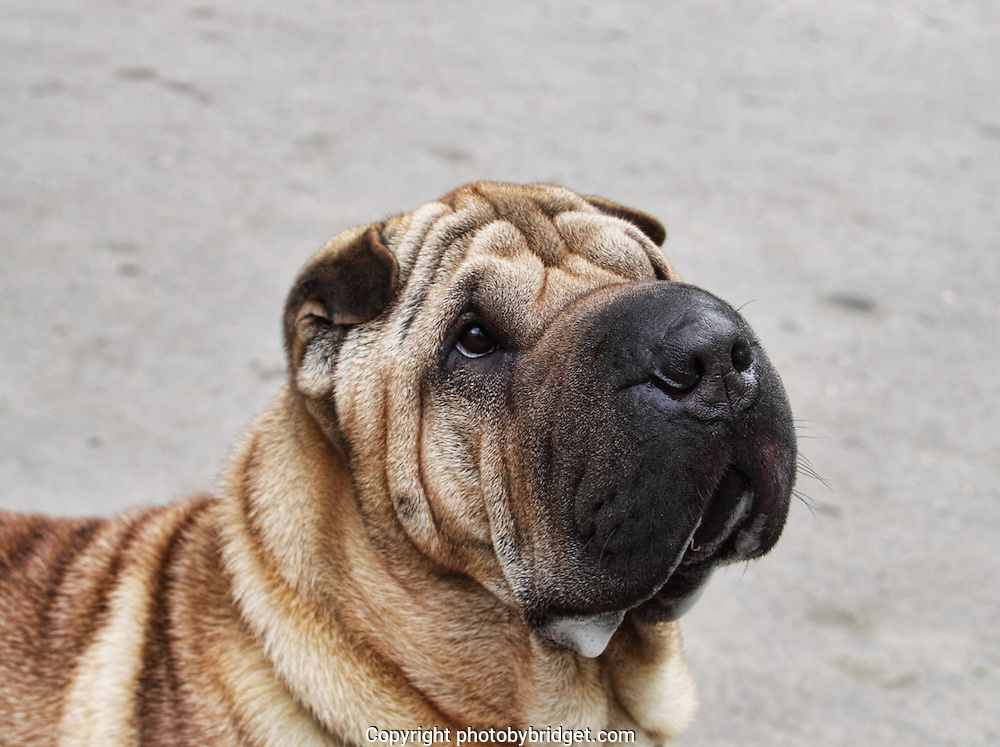 Head shot of a shar pei on plain backdrop. Outdoor photography.<br />
