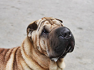 Head shot of a shar pei on plain backdrop. Outdoor photography.<br /> The Shar Pei, or Chinese Shar-Pei, is a breed of dog known for its distinctive features of deep wrinkles and a blue-black tongue. The breed comes from China. The name translates to &quot;sand skin&quot; and refers to the texture of its short, rough coat.