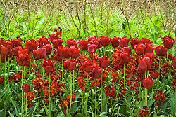 Tulipa 'Jan Reus' with wallflower Erysimum 'Blood Red'