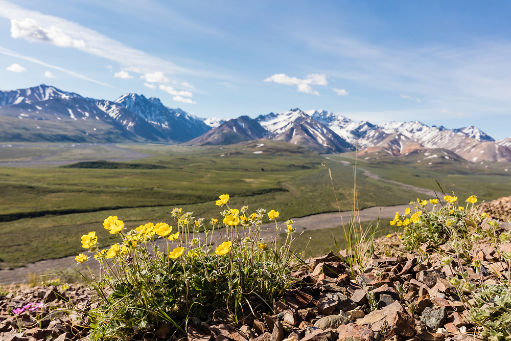One-flowered Cinquefoil (Potentilla uniflora) overlooking Polychrome Pass in Denali National Park in Interior Alaska. Summer. Morning.